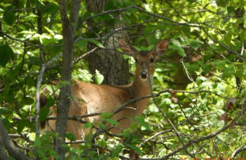Deer standing in the woods behind green bushes