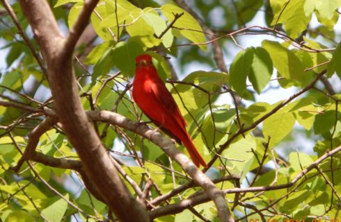 Close up view of a red bird sitting on a branch in a tree
