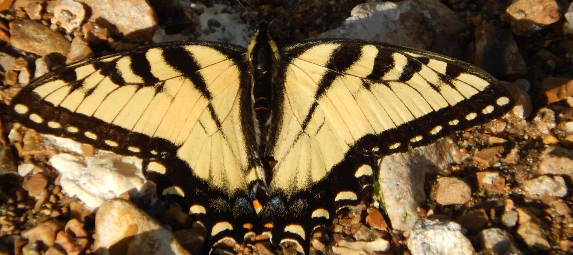 Close up view of yellow and black butterfly sitting on small pebbles