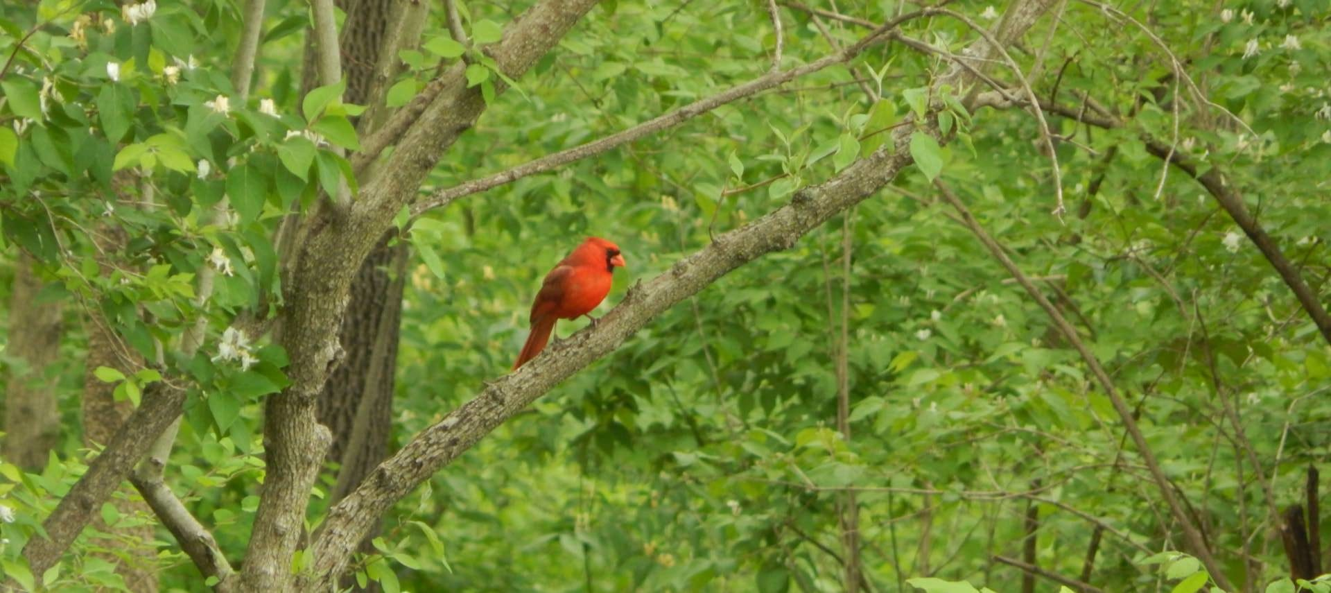 Bright red bird standing on tree branch with greenery in background