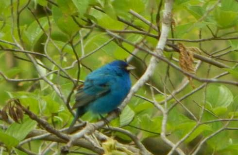 Close up view of blue bird sitting on branch in tree
